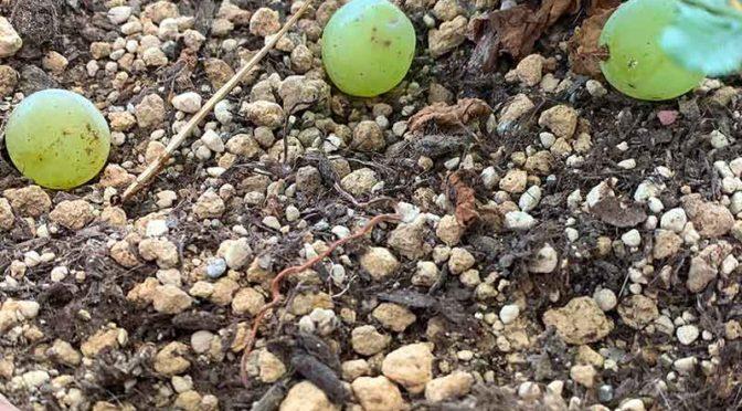 ポロポロ粒が落ちていく:葡萄ヒムロッドシードレスの最後の収穫(栽培4年目その7)