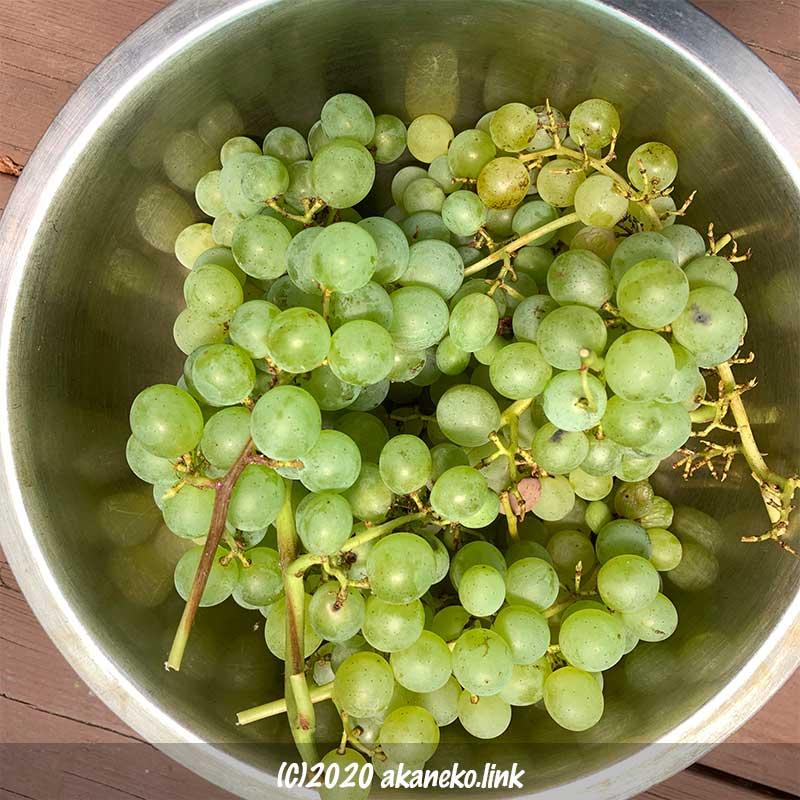 自宅で収穫した葡萄(ヒムロッド・シードレス)