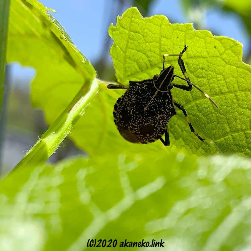 葡萄の葉の裏に隠れるキマダラカメムシキマダラカメムシ(成虫)