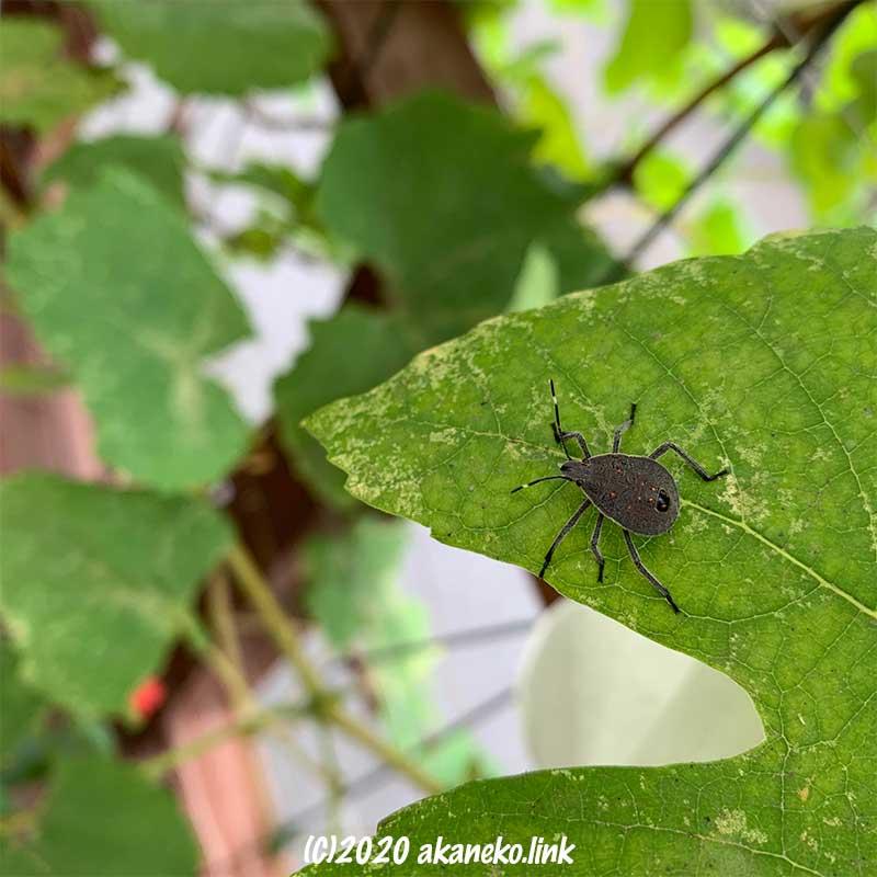 葡萄の葉の上を歩くキマダラカメムシの幼虫