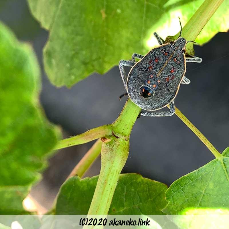 葡萄の枝とキマダラカメムシの幼虫