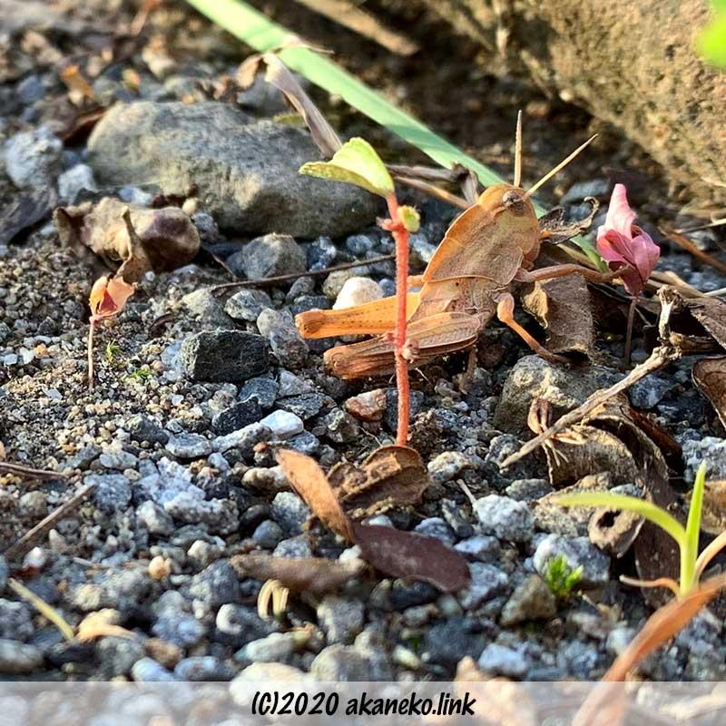 クルマバッタの幼虫