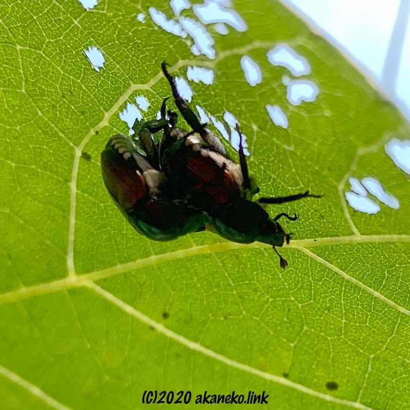 葡萄の葉の裏で交尾するマメコガネ
