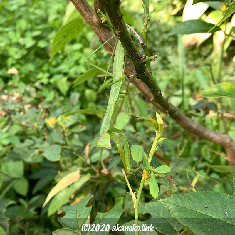 レモンの枝にぶら下がって睨みつけてくるカマキリの終齢幼虫