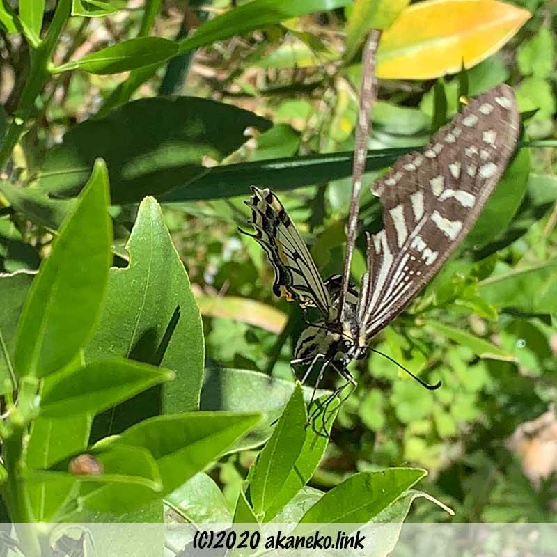 金柑に産卵するナミアゲハ