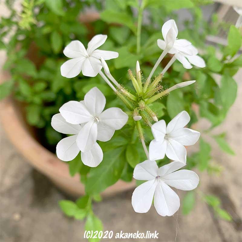 白いルリマツリの花