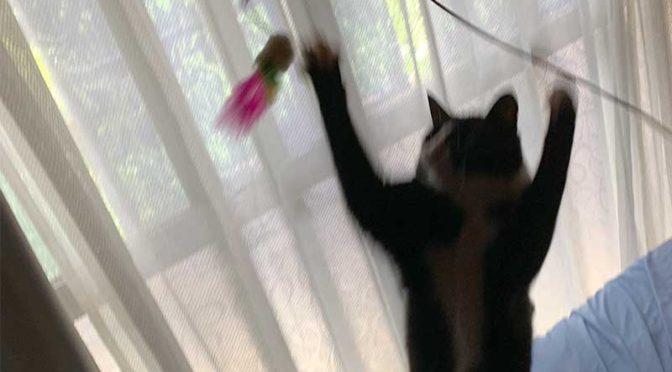 両手を広げて猫じゃらしをキャッチ