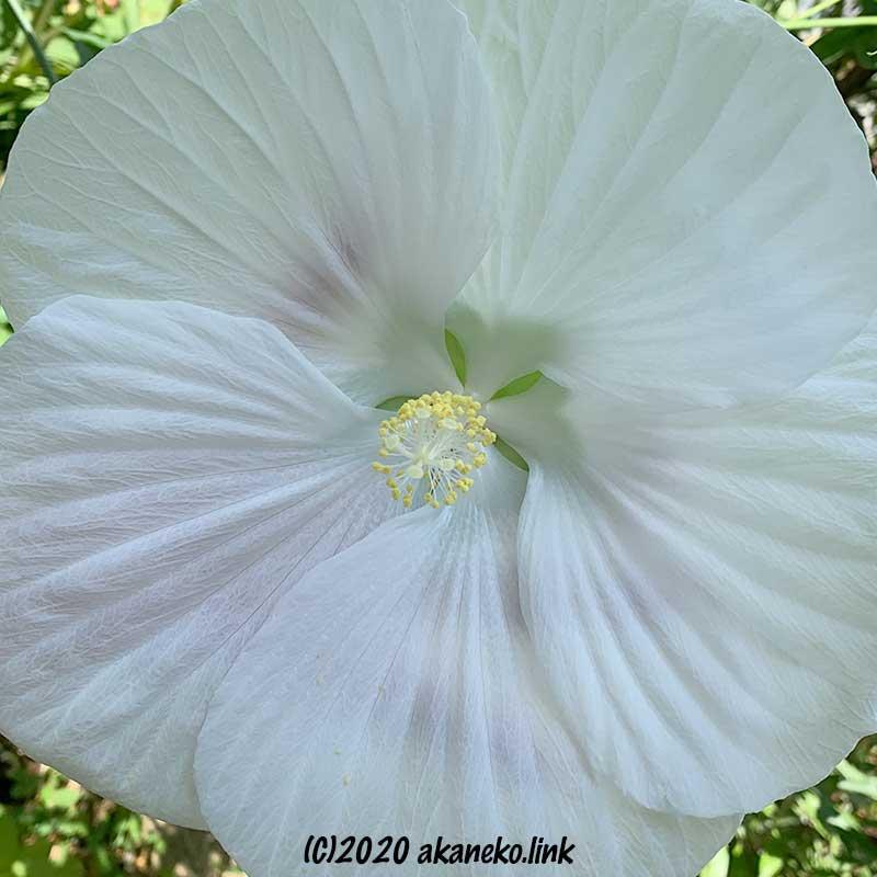 タイタンビカスエルフの白い花の後ろに手が透けて見える