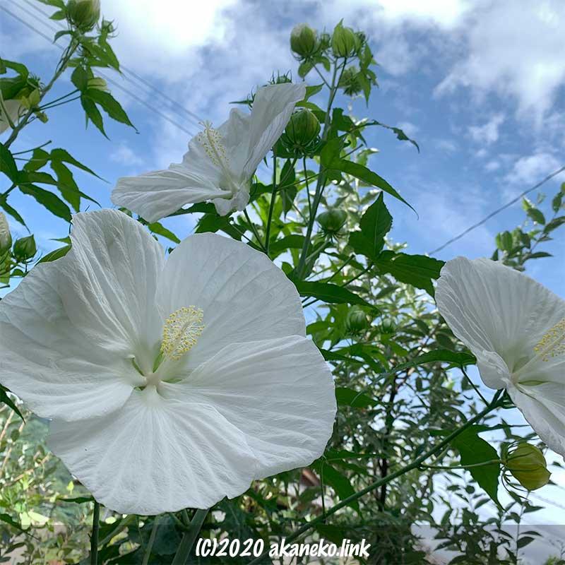 梅雨明けの青空に咲くタイタンビカス・エルフの花