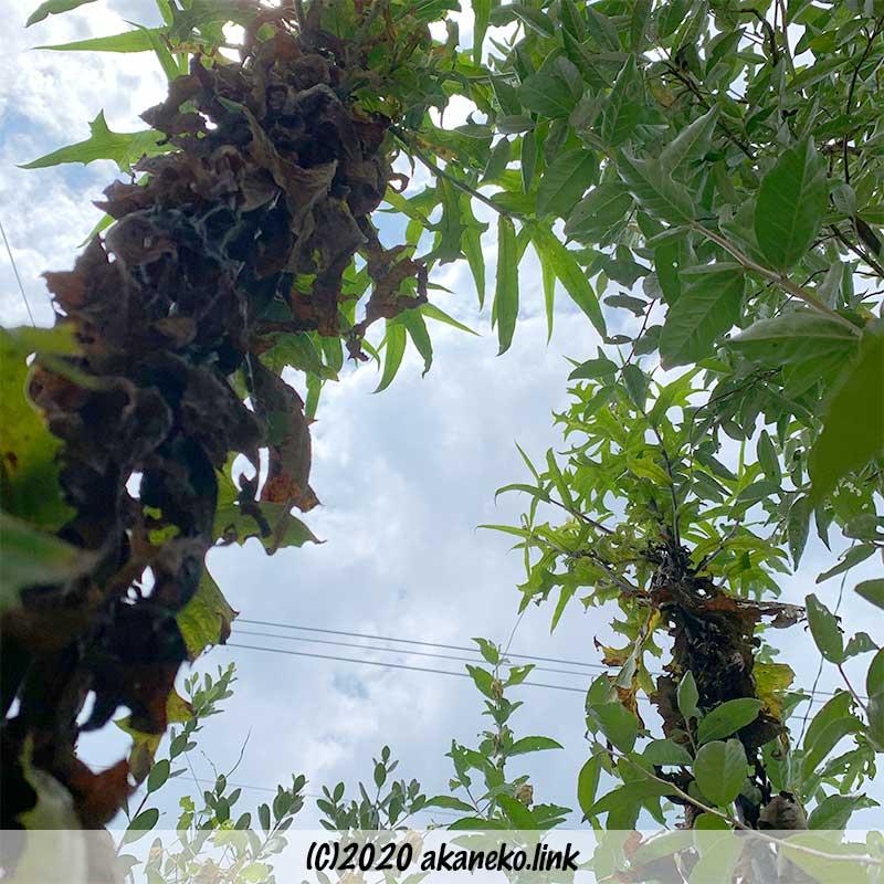 庭にそびえるアキノノゲシ