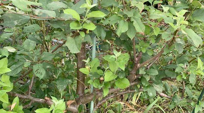 エスパリエ風リンゴ樹と文様美麗なモンクロギンシャチホコ幼虫:2020年の芋虫