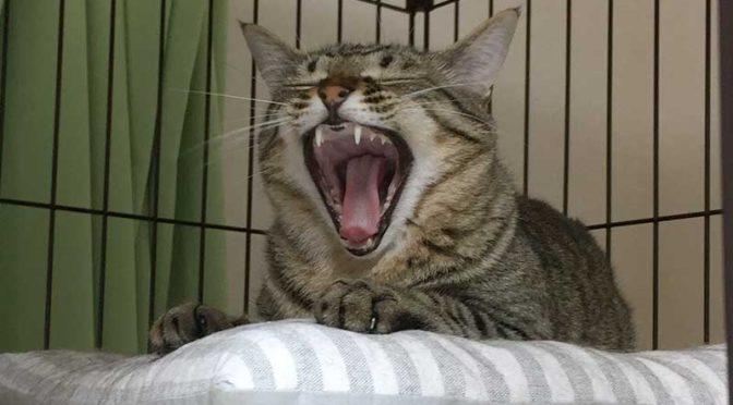 ケージの中で大欠伸するキジ猫