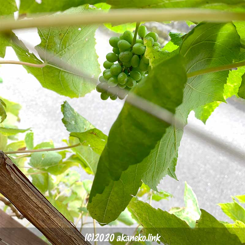 9月果実肥大中の葡萄(ヒムロッドシードレス)