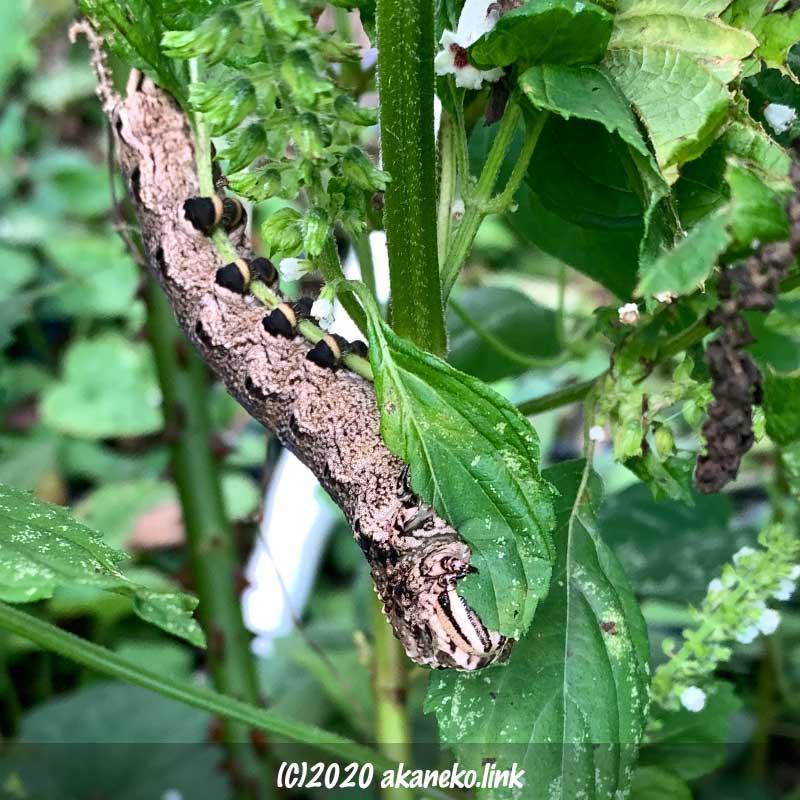 青じそを食べる大きな芋虫(クロメンガタスズメの幼虫)