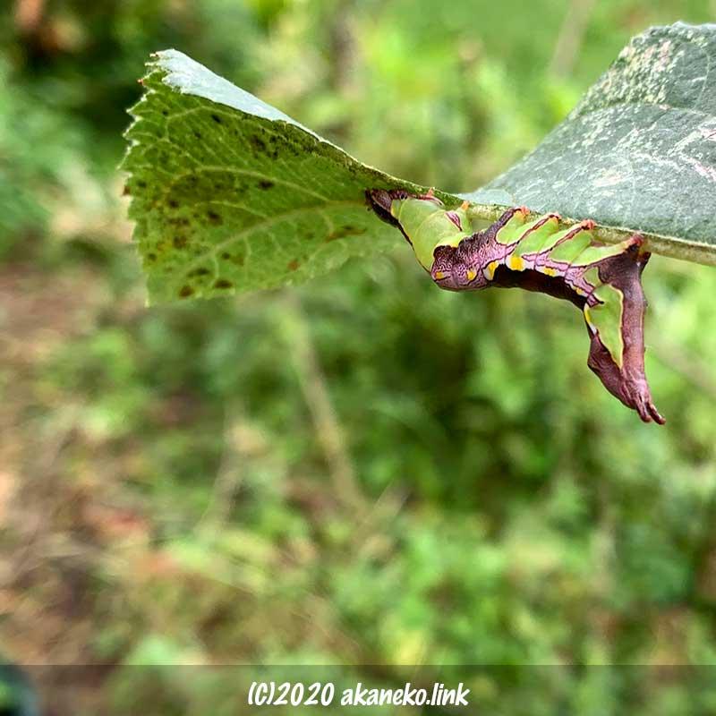 リンゴの葉裏でお尻を上げている芋虫(モンクロギンシャチホコ)