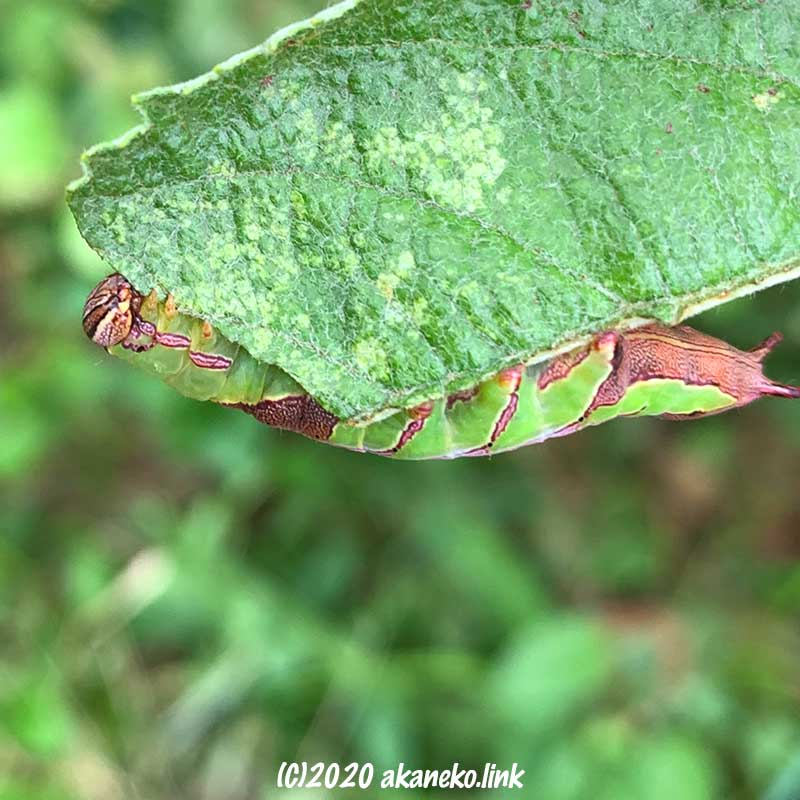 リンゴの葉を食べる緑色と茶色文様の芋虫(モンクロギンシャチホコの幼虫)