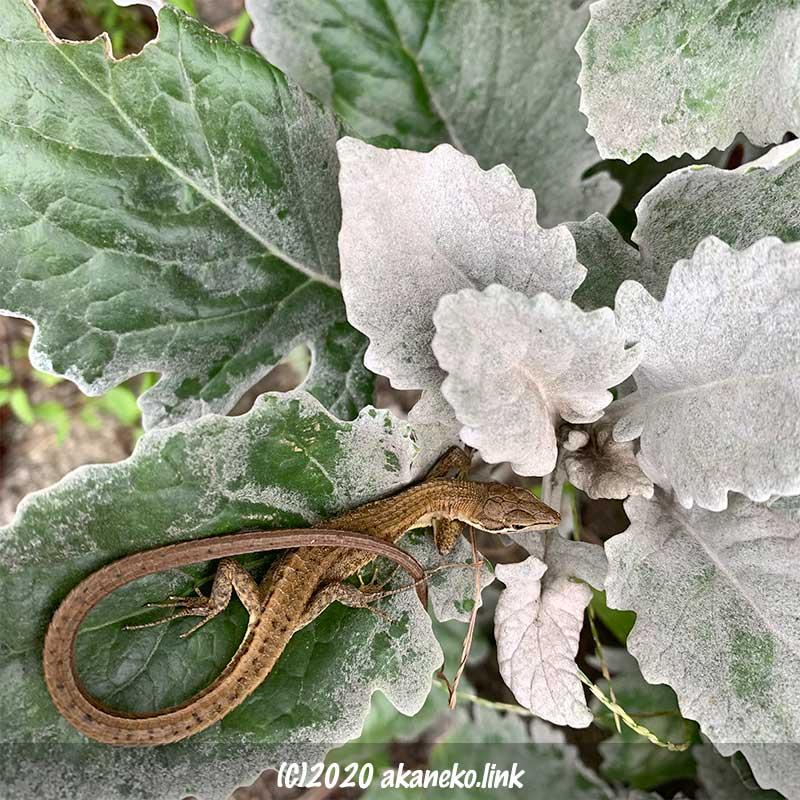 シロタエギクの葉の上でくつろぐニホンカナヘビ