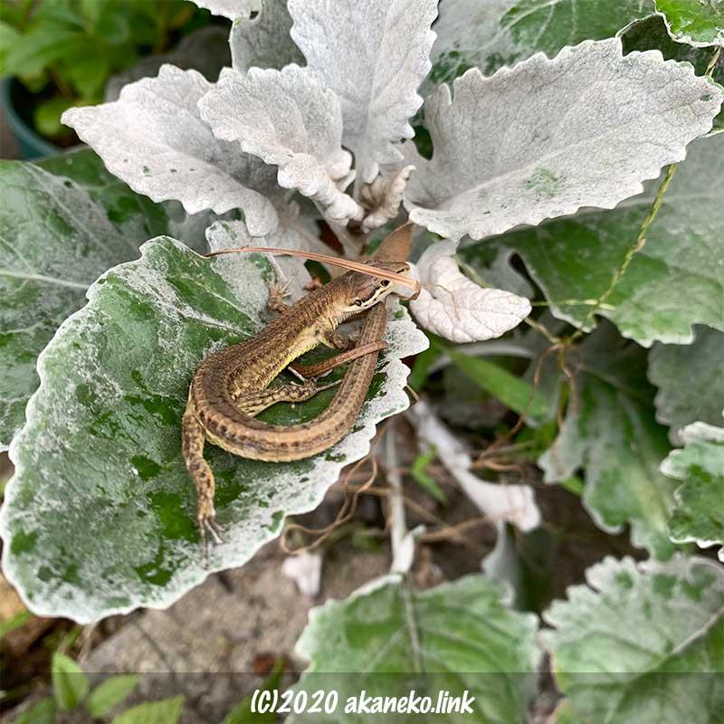 シロタエギクの葉の上で体を丸めたニホンカナヘビ