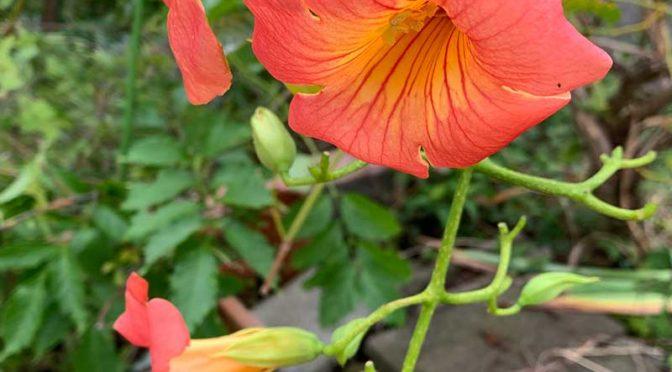 台風翌朝のノウゼンカズラの花