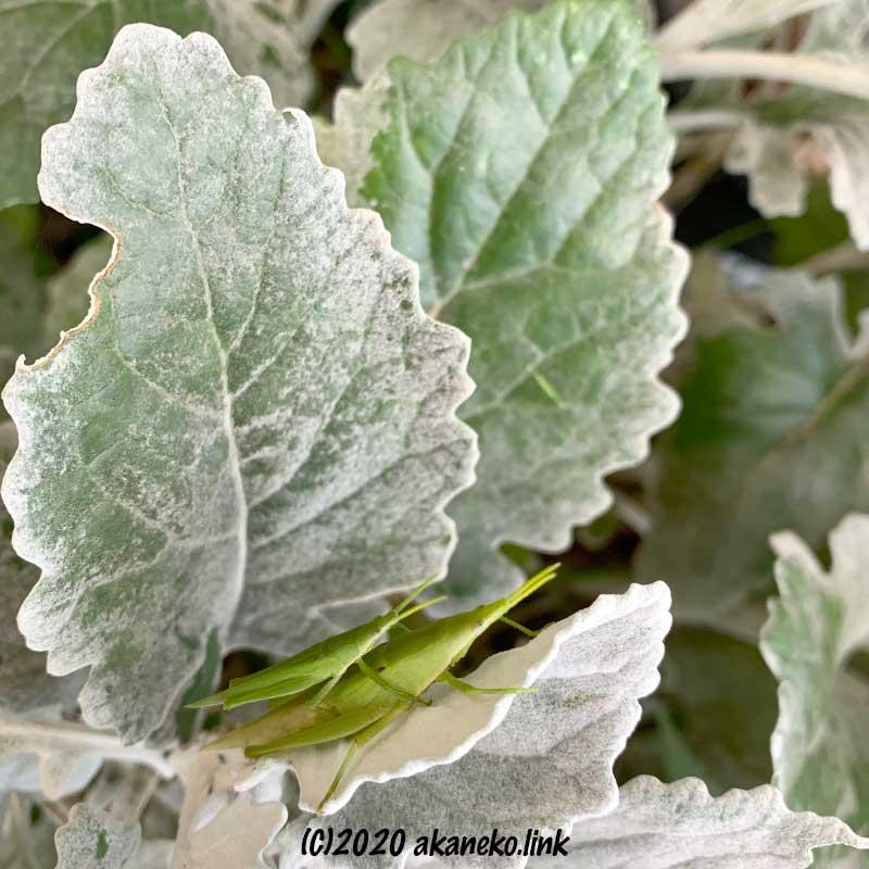 シロタエギクの葉の上のオンブバッタ