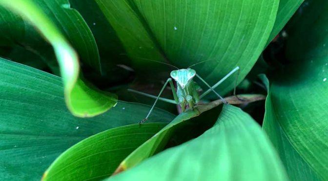 葉蘭の茂みから顔を覗かせるカマキリ