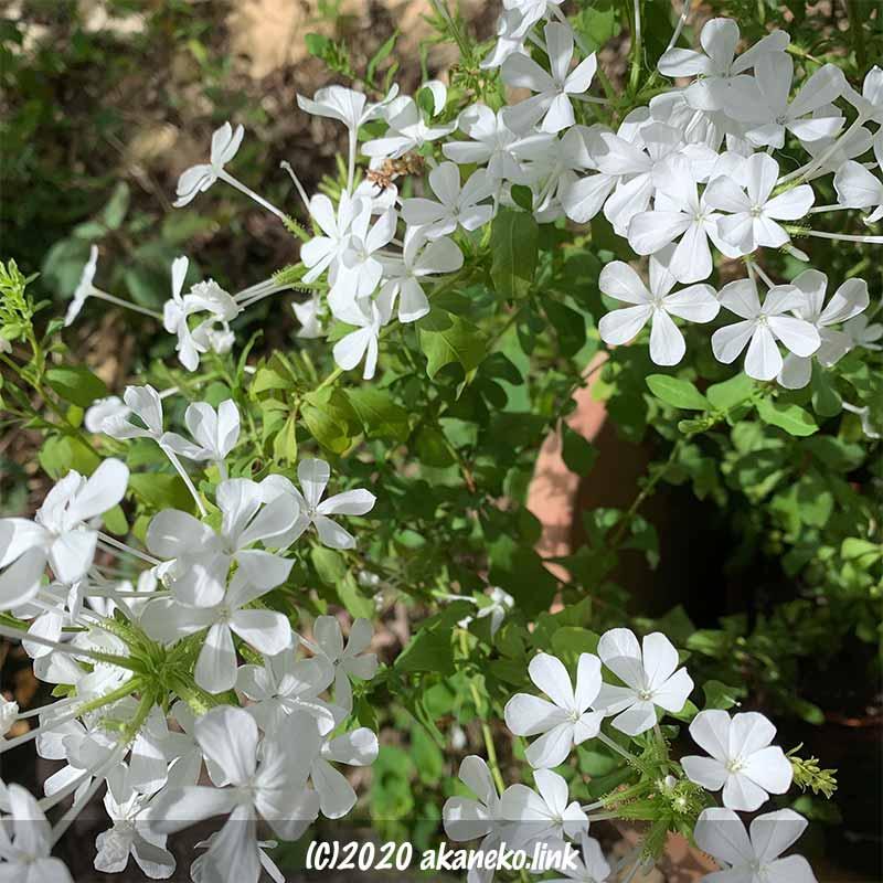 ルリマツリの白花は可憐な印象