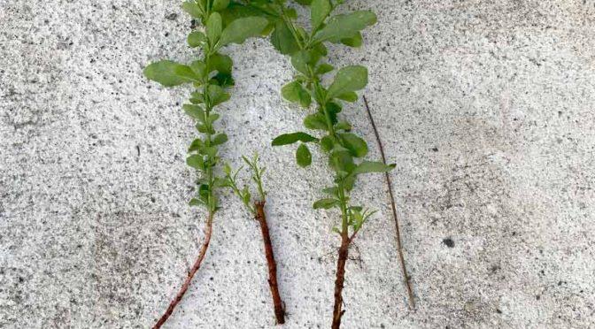 掘り出したルリマツリの長い根と新枝