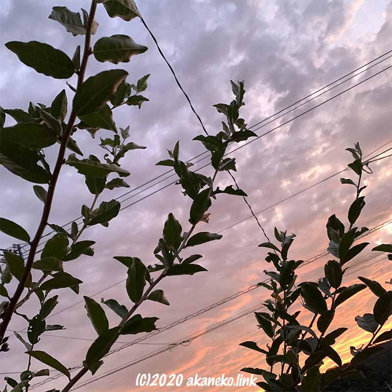 夕焼け雲とロシアンオリーブの枝