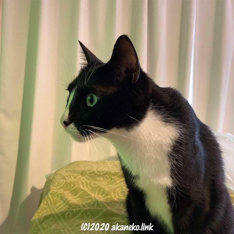 テレビ画面を我を忘れて見入る猫の横顔