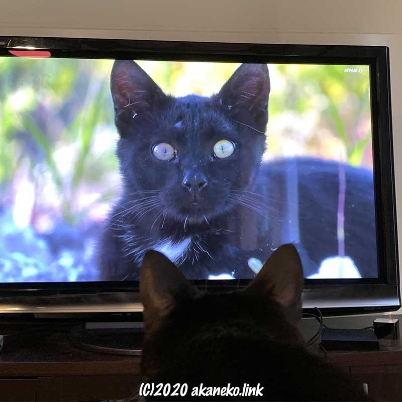 テレビの中の猫とにらめっこ中の猫の後頭部
