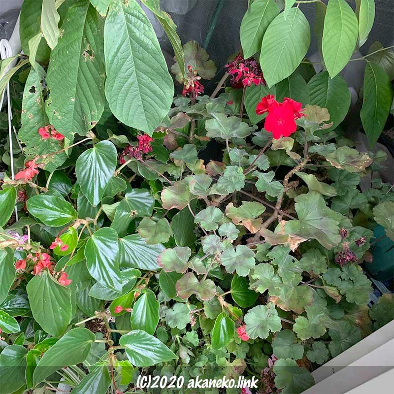 台風に備えて物置に鉢植えを入れる
