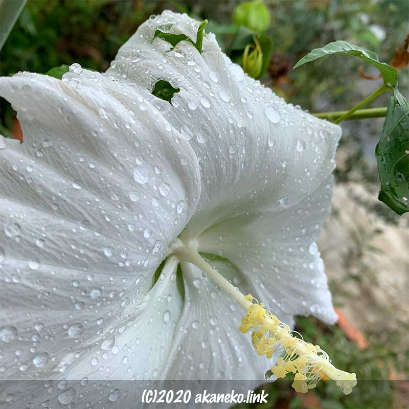 台風の日に咲いたタイタンビカスエルフの白い花