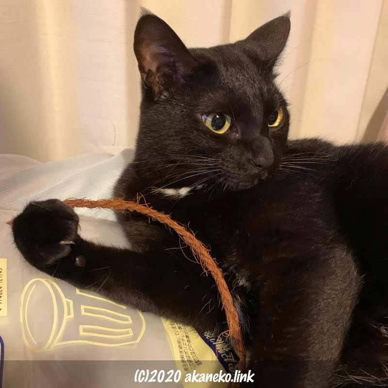シュロ縄を手にした黒猫クロエ