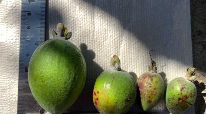 果実に謎の歯形?:2020年フェイジョアの収穫が始まった