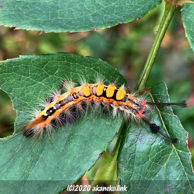 バラの葉を食べるカラフルな毛虫(ヒメシロモンドクガの幼虫)