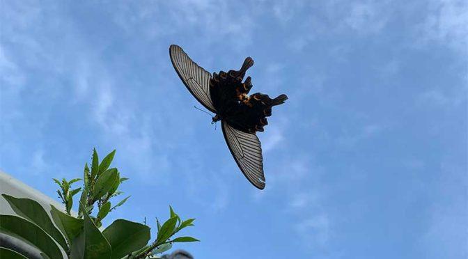 クロアゲハと2種のシジミチョウ(ウラギンシジミとクロマダラソテツシジミ):10月の蝶