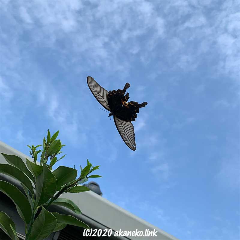 空を飛ぶクロアゲハ