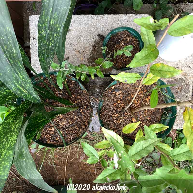 零れ種で生えたロシアンボリーブを鉢植えに