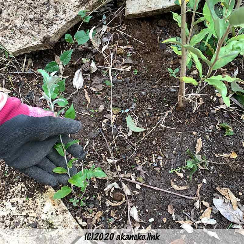 零れ種で発芽したロシアンオリーブ