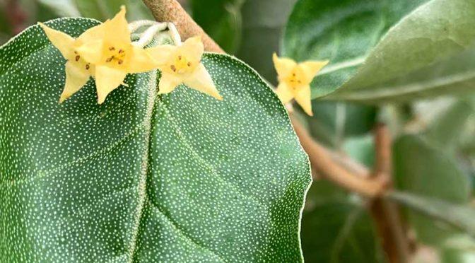 ロシアンオリーブの狂い咲き:9月に強剪定した影響か?秋に開花