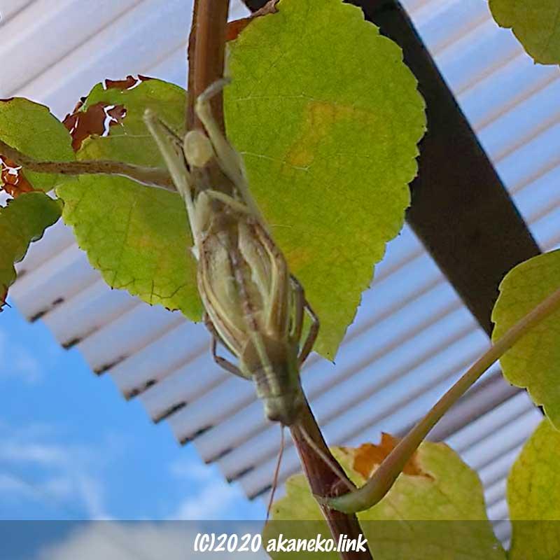 葡萄の枝にぶら下がって羽化するツチイナゴ