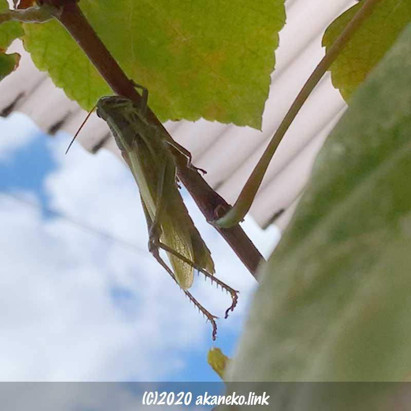 ツチイナゴの羽化(伸びきった翅を閉じる)