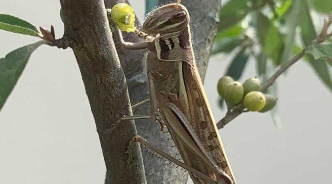 毎日ツチイナゴ祭りだ:成虫・幼虫入りまじり17匹