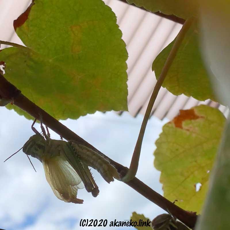 ツチイナゴの羽化(羽を伸ばしている)