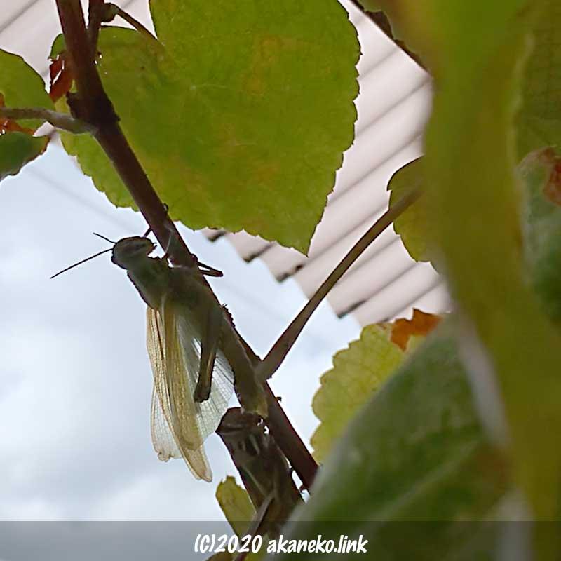 羽化の最中、別のツチイナゴが急接近