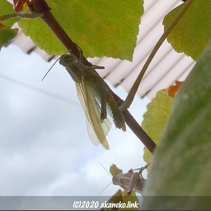 ツチイナゴの羽化(翅を伸ばす)