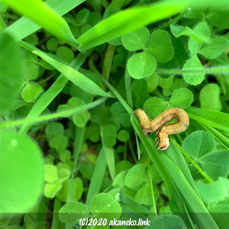 エンバクを食べる縦縞の芋虫(ウスオビクチバの幼虫)