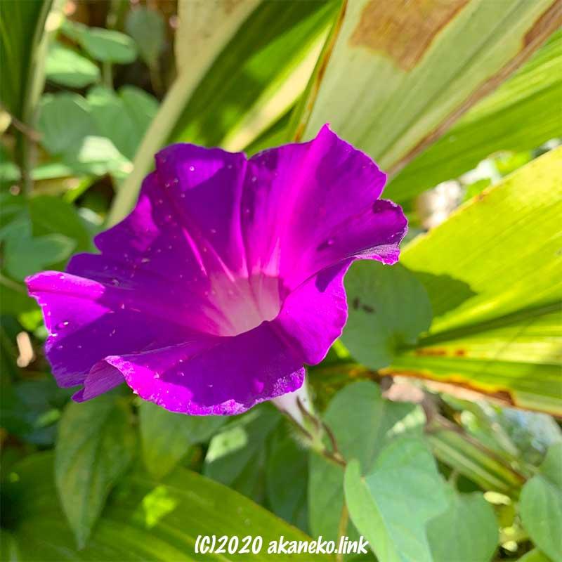 初冬の朝顔の花