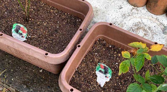 プランターに植え付けたブラックベリー