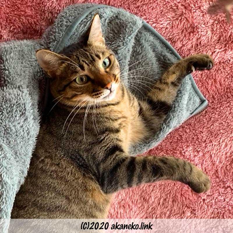 毛布に寝そべるキジ猫